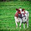 Chercher la vache!